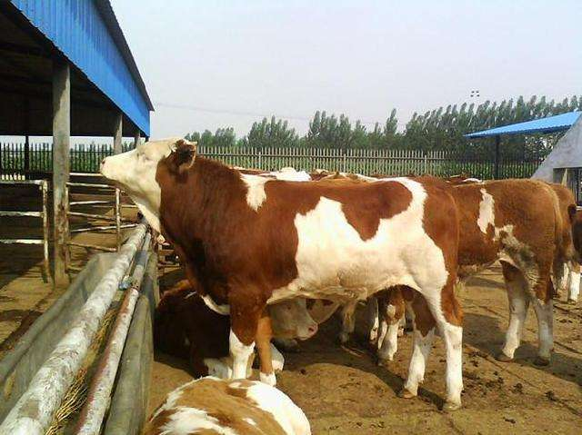 亮牛哥:从养牛失败的心声经验中吸取精华