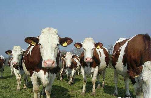 亮牛哥:养10头牛犊一年的利润有多少
