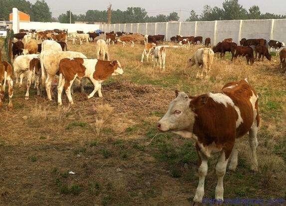 亮牛哥:养20头牛国家补贴多少