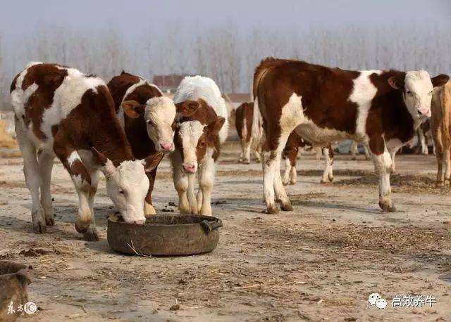 亮牛哥:养牛最大的难处是什么