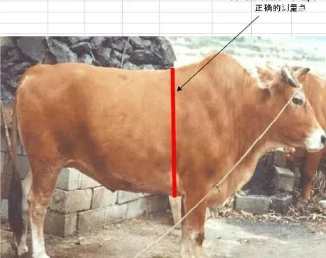 亮牛哥买牛口诀和买牛估重绝技分享