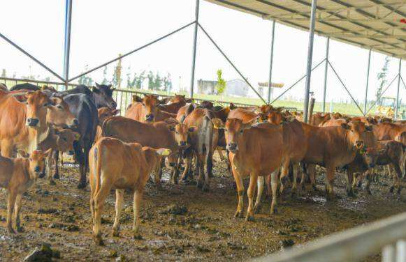 养牛的风险有哪些?