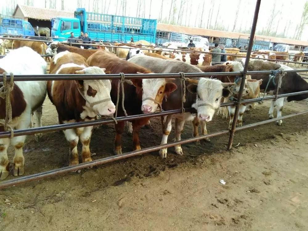 物价这么贵 养牛前景如何