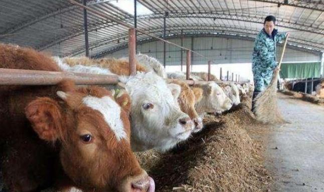 现在养牛怎么样?如何才能脱贫致富