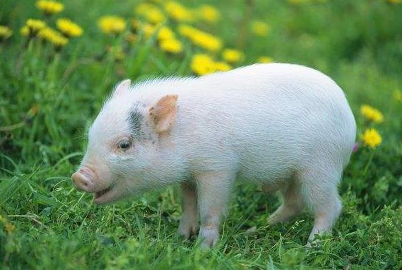 养猪挣钱还是养牛挣钱?为什么大家选择养猪?