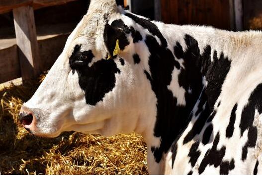 我想养牛如何贷款?一个小型养殖场要贷款多少?