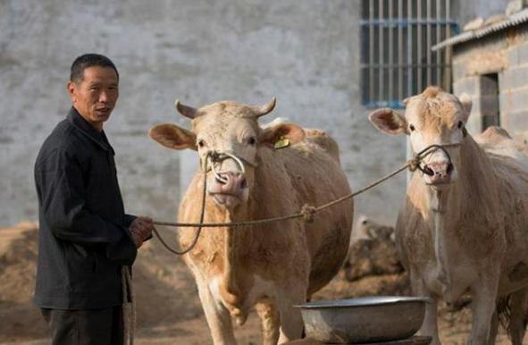 新手养牛需要准备什么?新手养牛需要注意哪些环节?