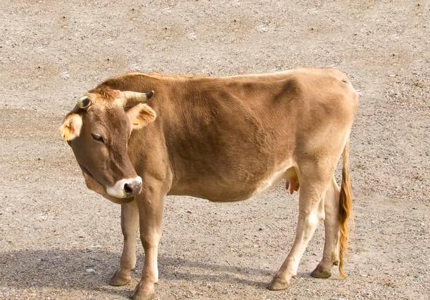母牛发情的外表观察法?怎么获知母牛发情?