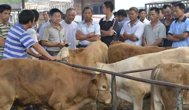 从外阴怎么判断母牛怀孕?怎么知道母牛怀孕?