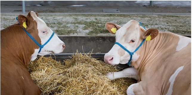 母牛产前瘫痪怎么办?为什么母牛产前瘫痪?