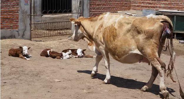 怀孕母牛会流血是怎么回事?母牛怀孕流血怎么办?