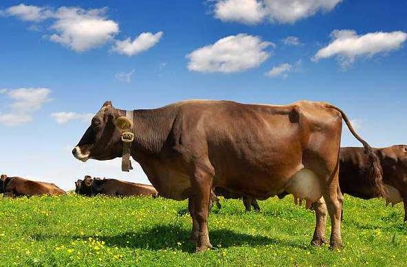 母牛水门肿是怎么回事?母牛水门肿大怎么办?