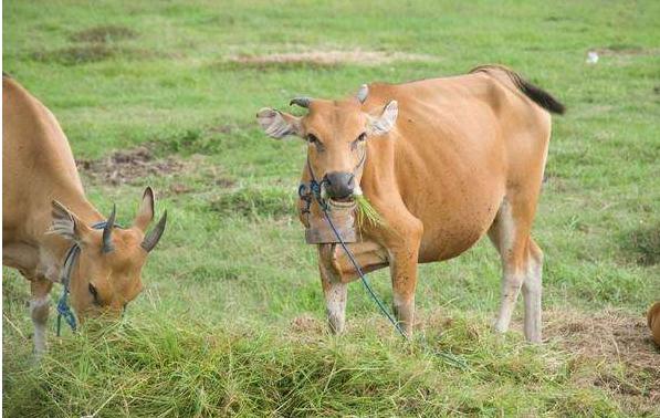 母牛小便出血怎么回事?母牛小便出血该如何来解决?