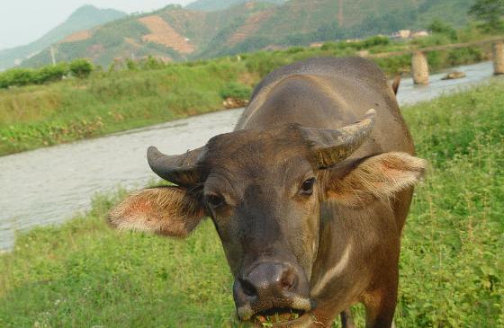 怀孕母牛拉稀怎么办?母牛怀孕为什么经常拉稀?